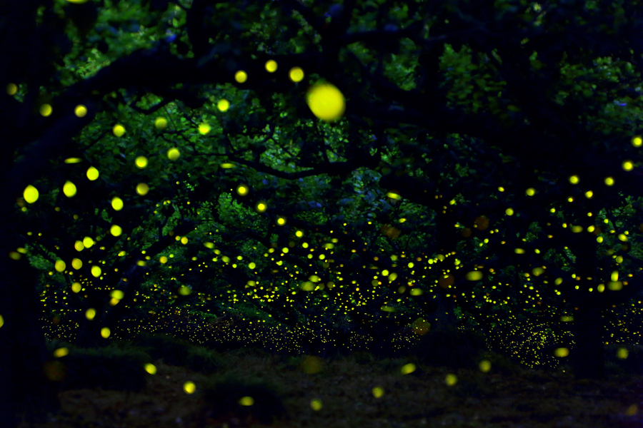 photojojo: Fireflies are officially one of the coolest animals to photograph. And when they all happen to light up at once? Pure magic like this photo by Yume! via 500px