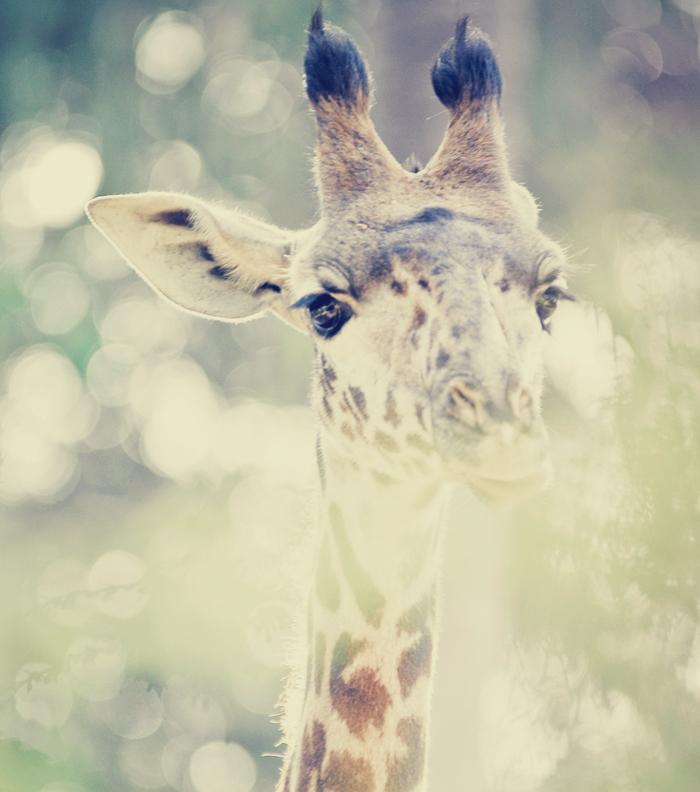 Oh giraffe!