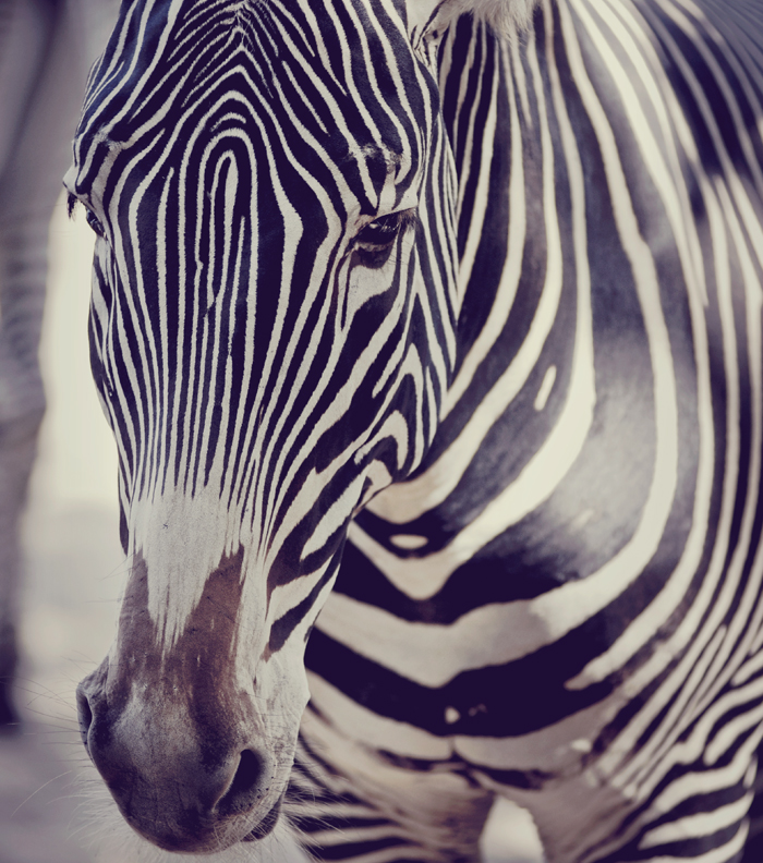 Oh zebra!