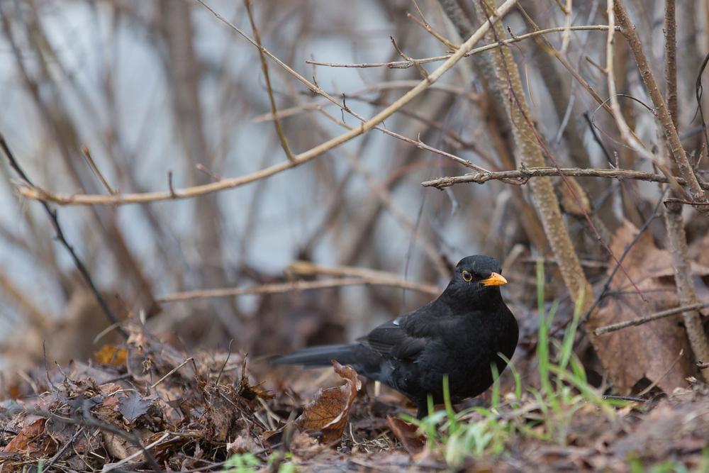 blackbird-001.jpg