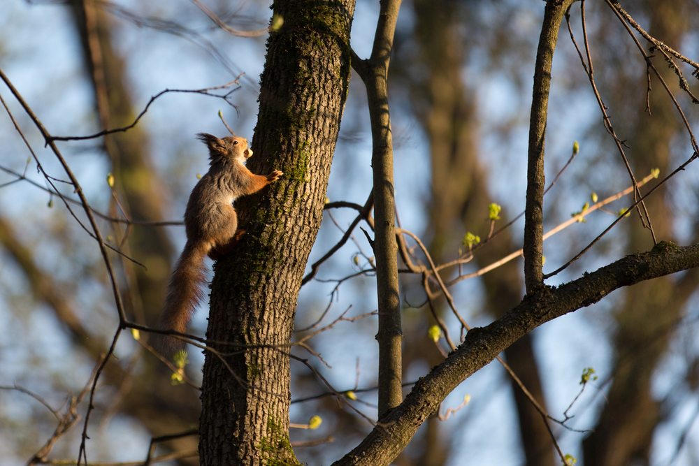 Eurasion Red Squirrel. 200mm, IS0 200, f/2.8 1/1000 sec