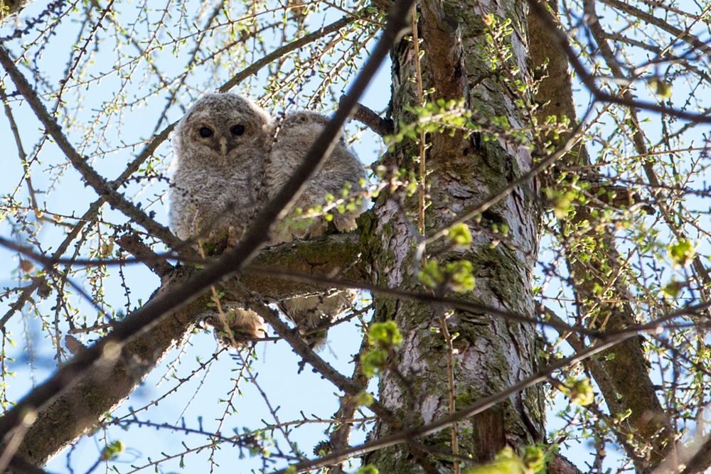 See, owls really can turn their heads 180 degrees. 200mm, ISO 800, f/5.6 and 1/400