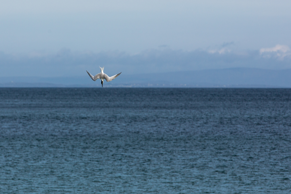 A Sandwhich Tern hunting for fish. A split second later it would be under the water with a fish in its beak.