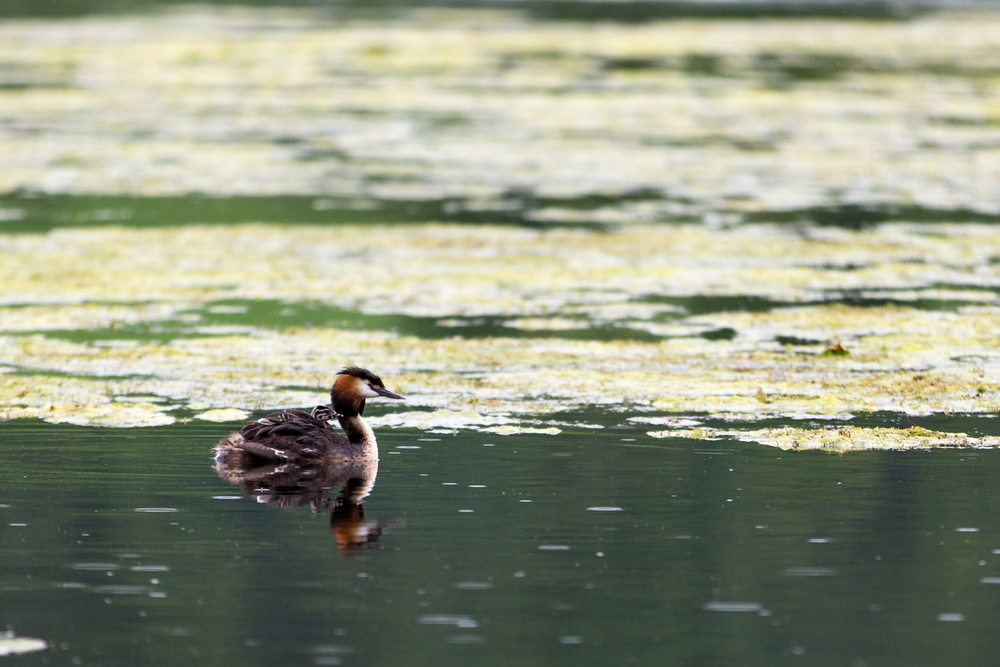 A Great Crested Grebe and youngster