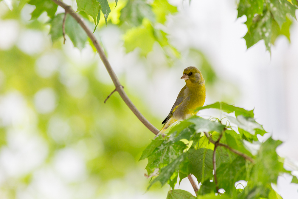 A Greenfinch waiting for its turn at the feeder