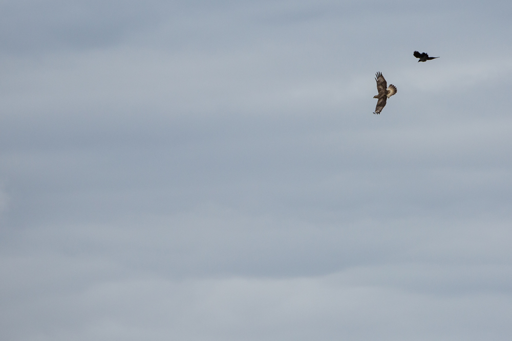Rough-Legged Buzzard and a Raven
