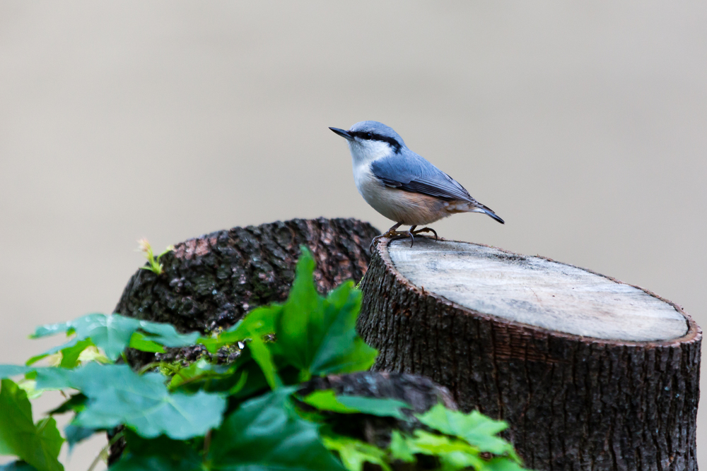 A Nuthatch on the stumpy trunk of Mr. Pigeon's tree.