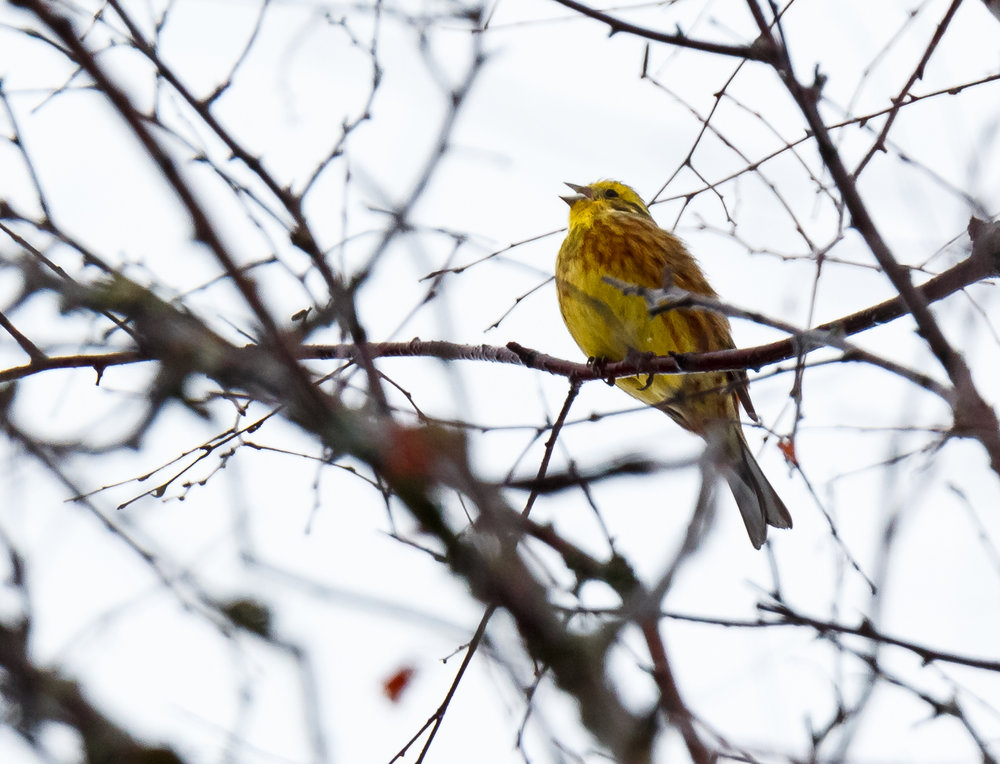 This rather bedraggled looking Yellowhammer was singing its wee heart out. Bring on Spring!