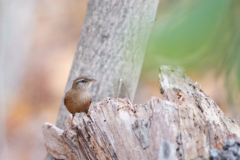A Fairy Wren posed ever so briefly.