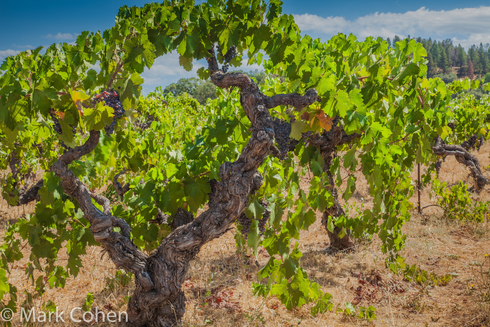 Grapevine no.1, Amador County, 2014