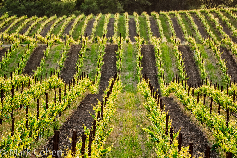Vineyard no.2, Amador County, 2007