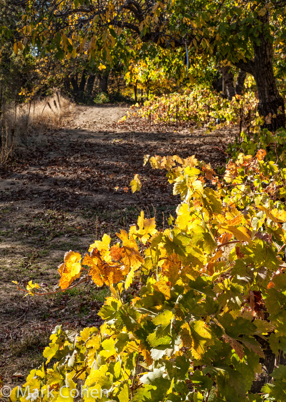 Grapevines and road, Amador County, 2013
