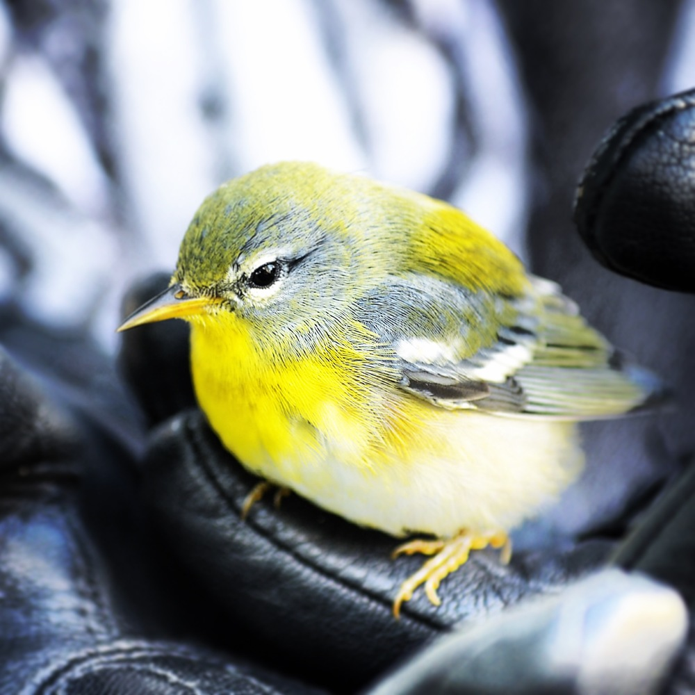 Warbler, Columbus Circle, Fall 2014