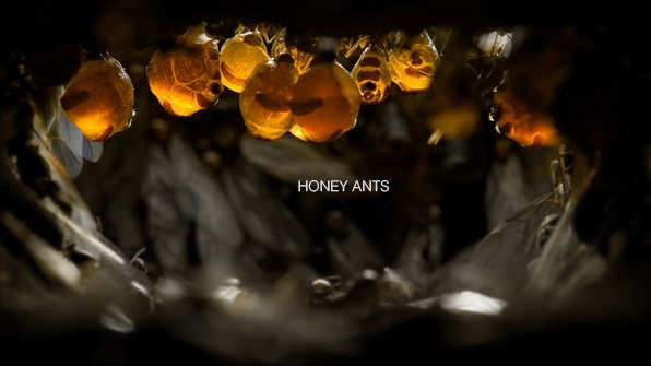 Jung_Berk_HoneyAnts_01.jpg