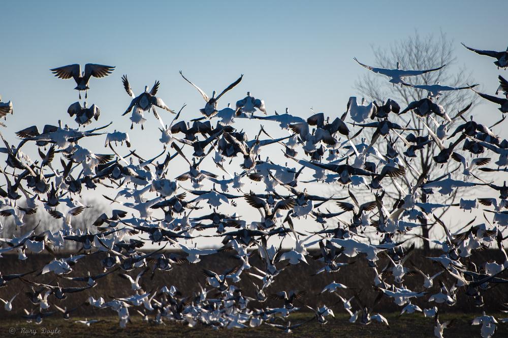millions of geese-2.jpg