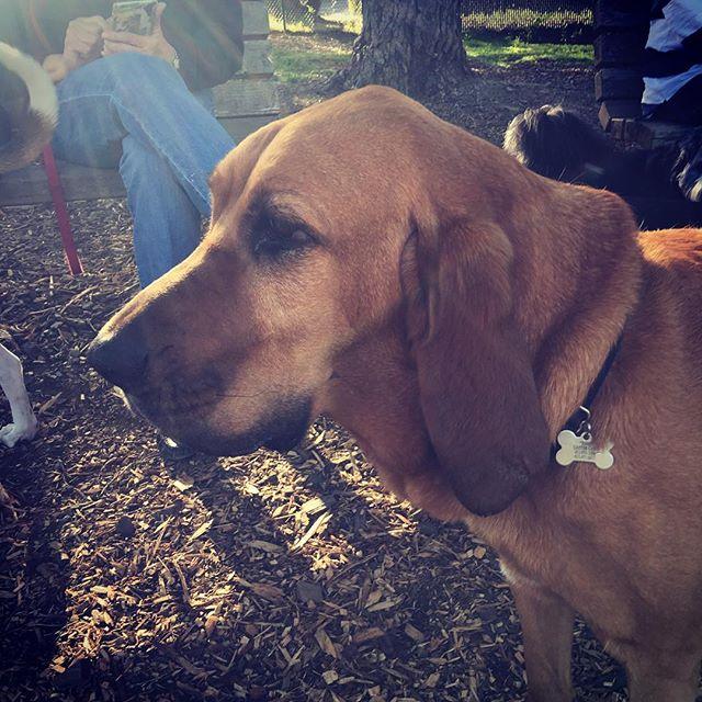 Bloodhound beauty #marindog #marin #sausalitodog