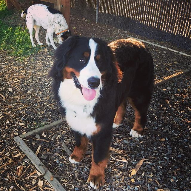Big ❤️ for this big puppy! #marindogs #marin #bernesemountaindog
