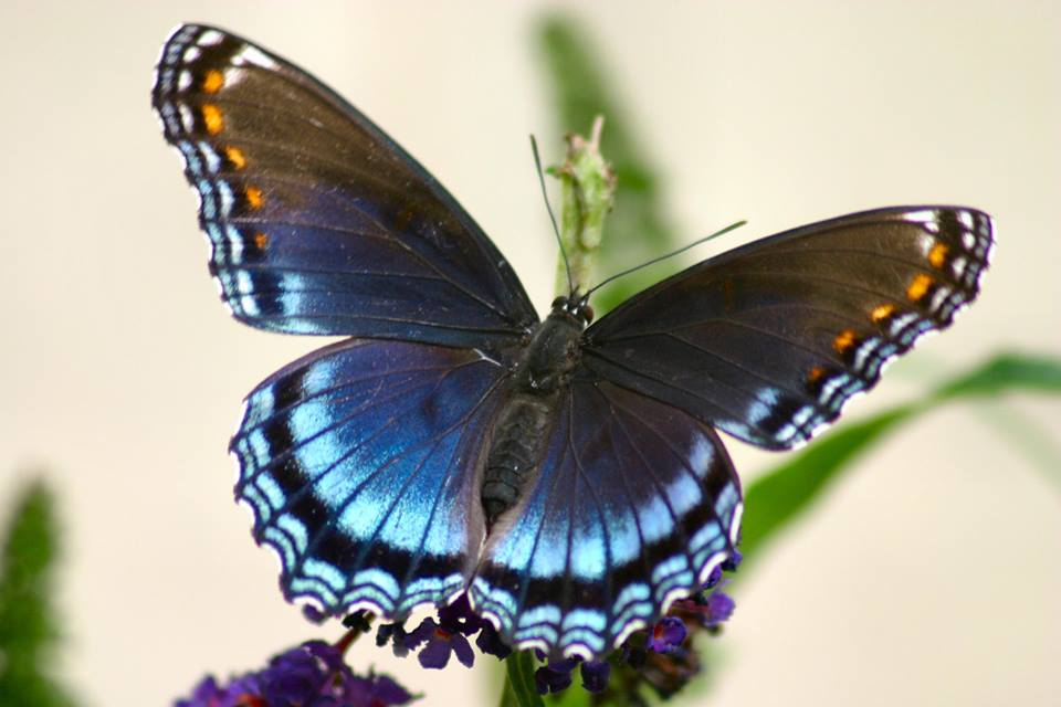 Dark blue butterfly.jpg