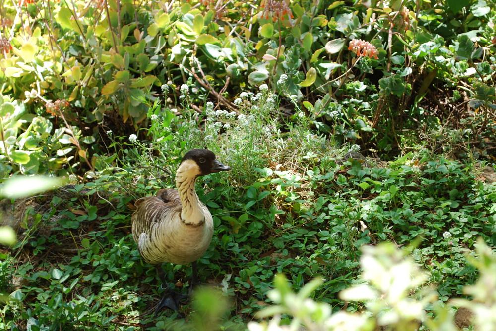 Kula Botanical Gardens, Maui | A Nene goose.