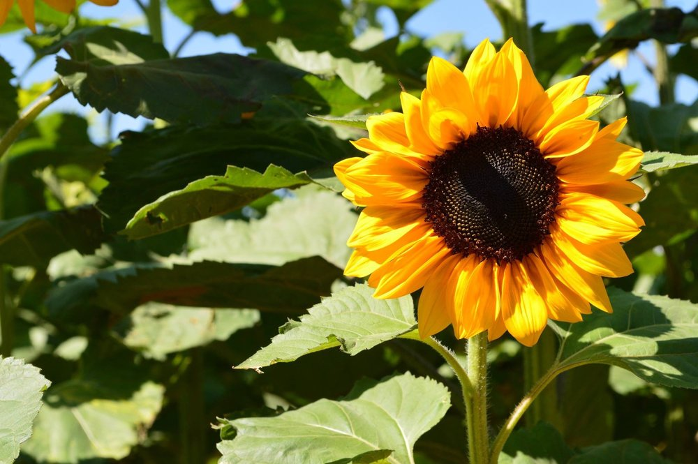 sunflower_crop_jocelyn_valencia
