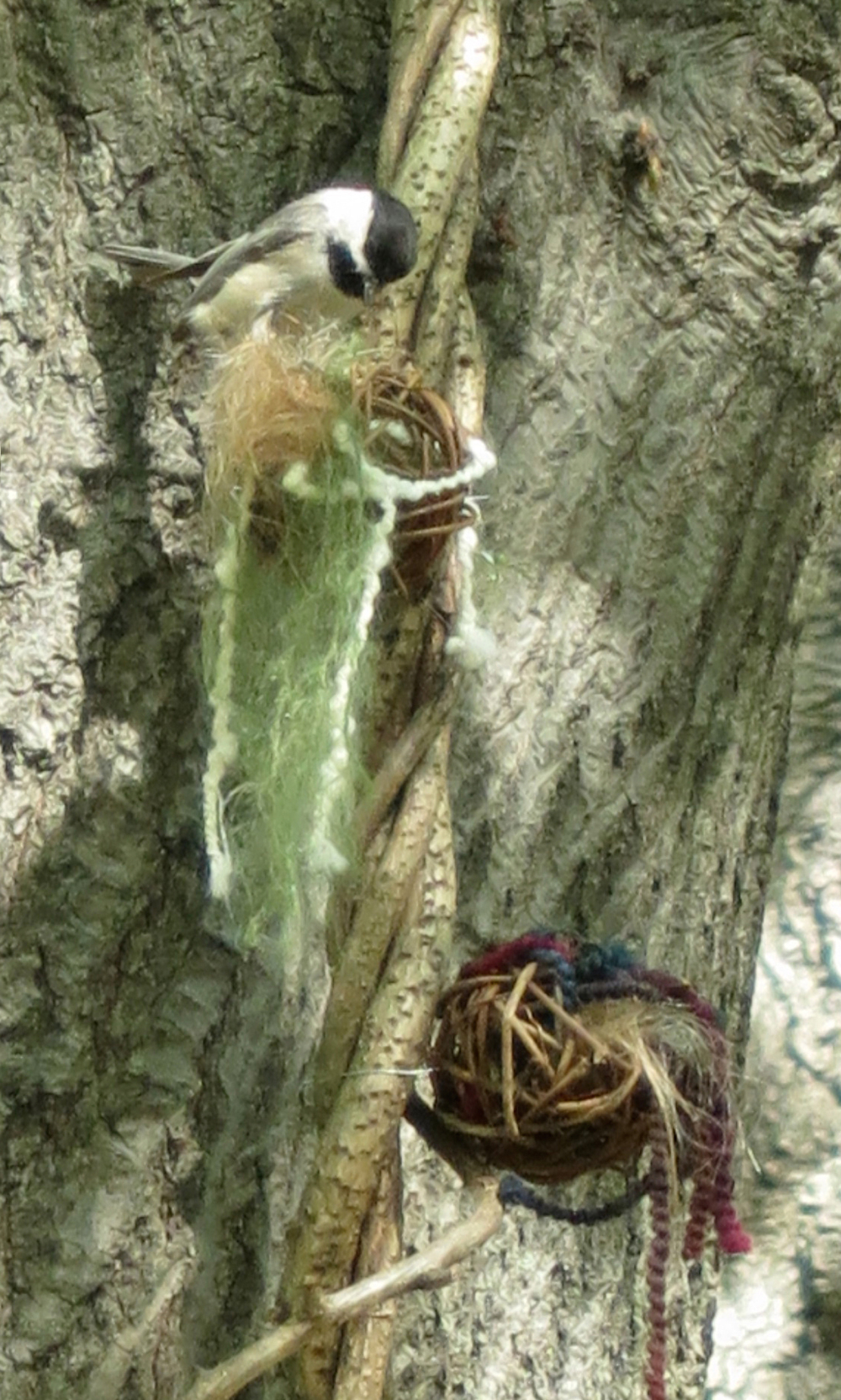 "May 12 / Chickadees exploring nesting materials on felted vine sculpture ""The earth laughs in flowers."""