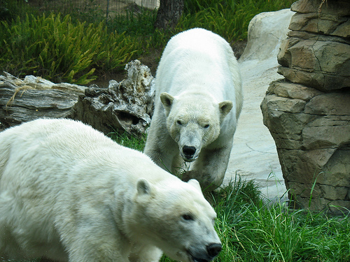 Germany is obsessed with polar bears.