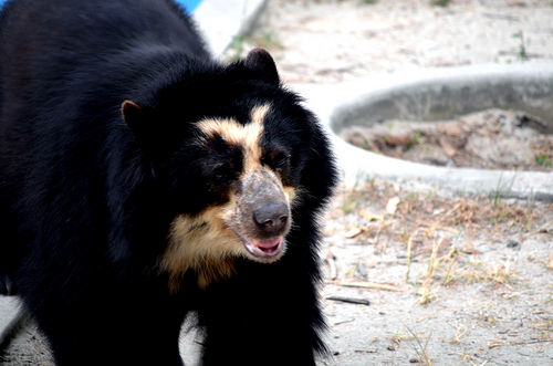 Leipzig's Spectacled bear's now have all their hair.