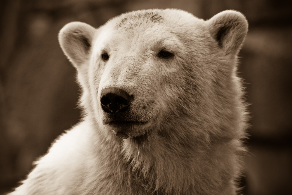 Scientists learn more about Knut's death and how it can help animals in the future.