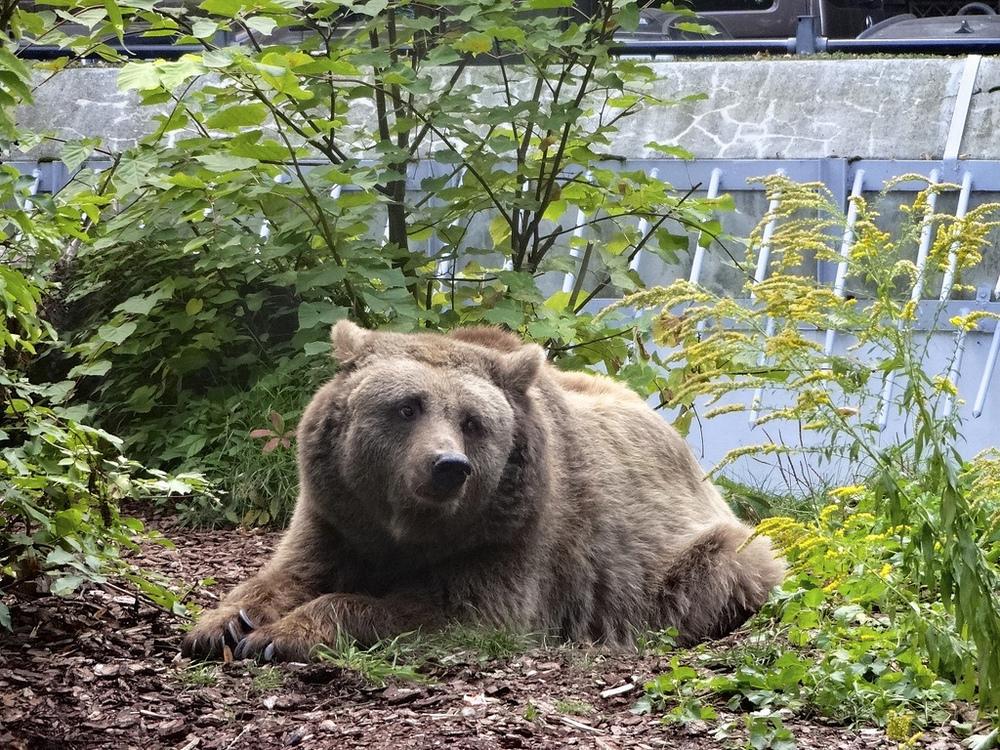 Berlin's final brown bear, Schnute, is put to sleep.