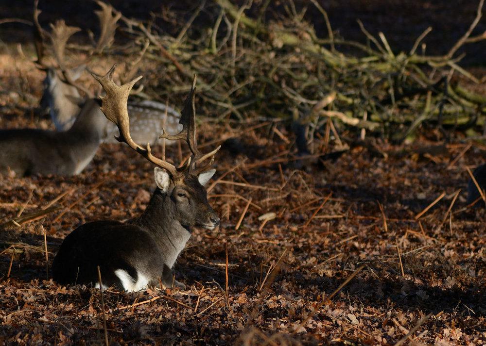 Richmond_deer.jpg