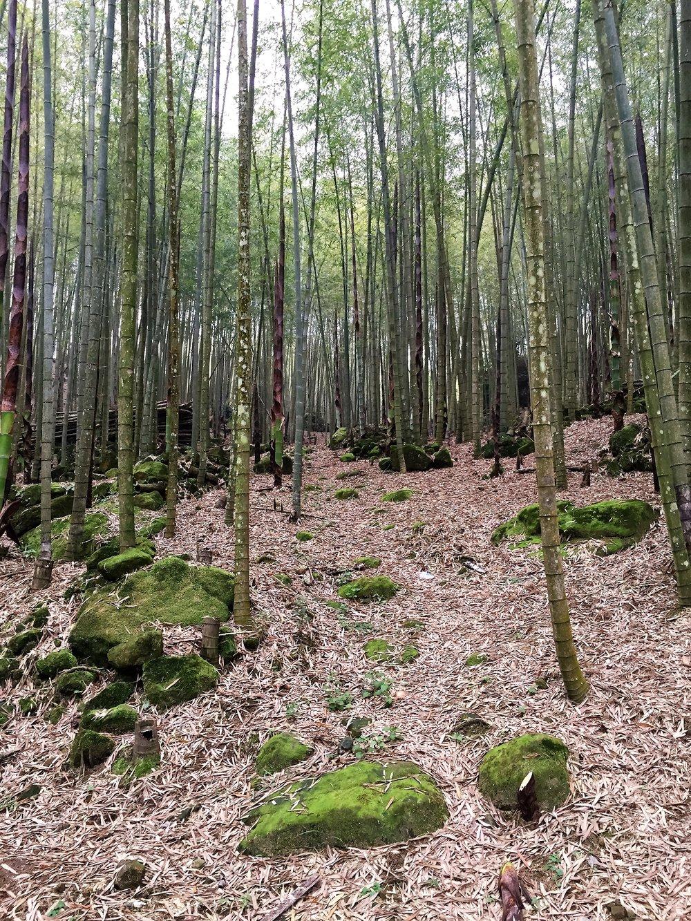 Bamboo grove on Bamboo Mountain in Taiwan, 2016