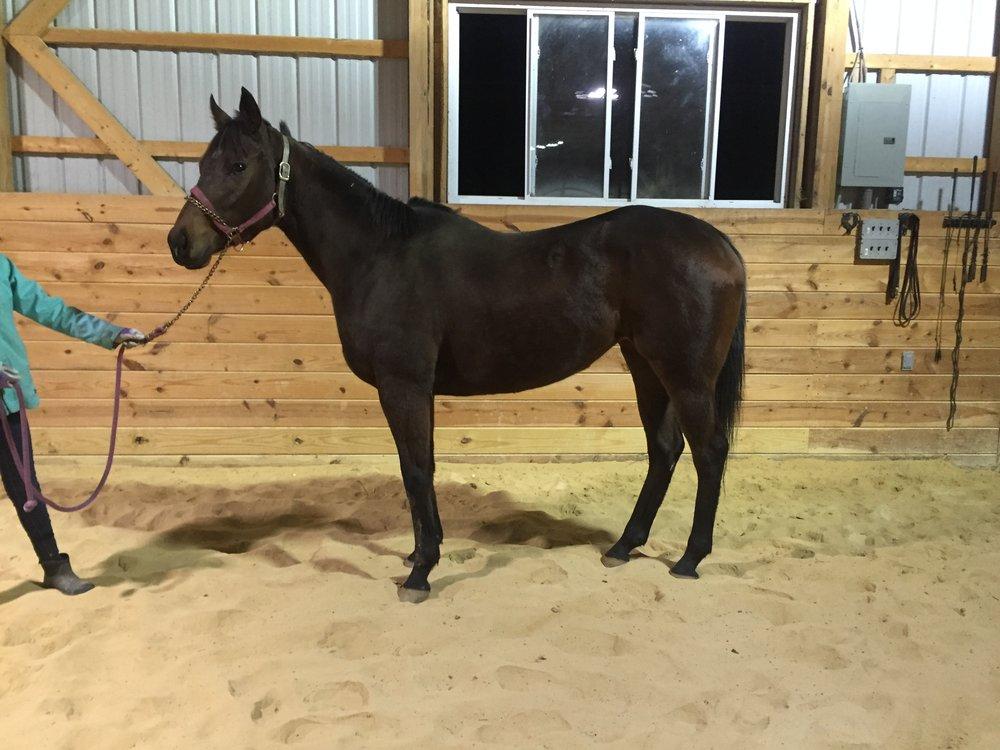 Lallie - 2014, 15.2h, dark bay, mare, RRP eligible.