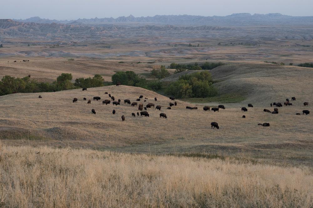 badlands buffalos.jpg