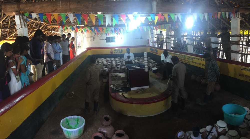 Irula tribesmen milking snakes