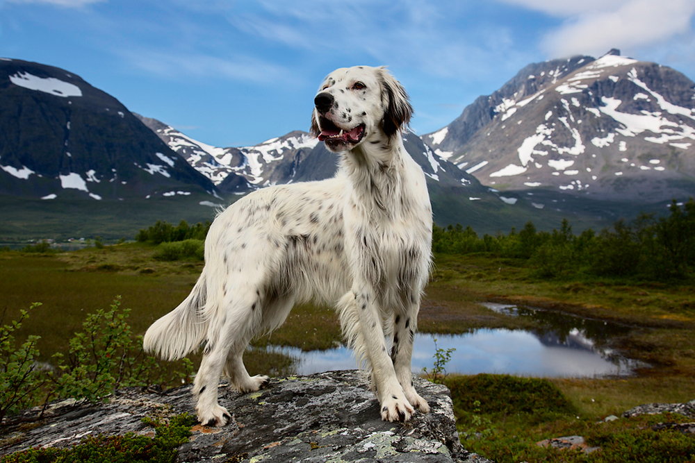 Zikkzakk of Kågen, English Setter, 2013
