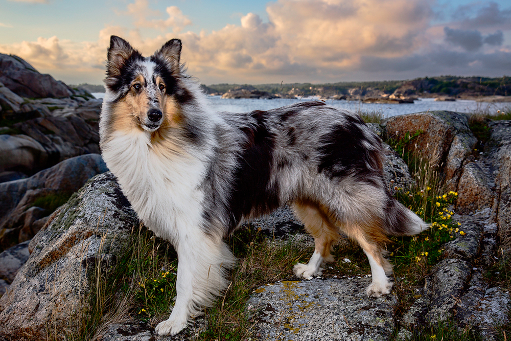 MacKenzie of Tjøme, Rough Coated Collie, 2013