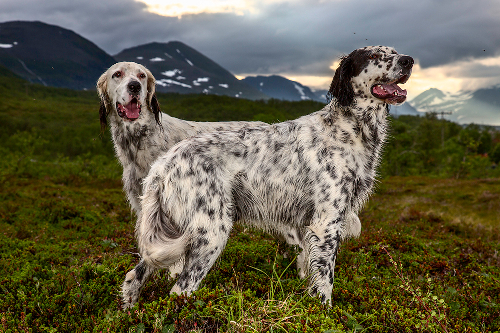 Junior and Tuisku, English Setters, 2013