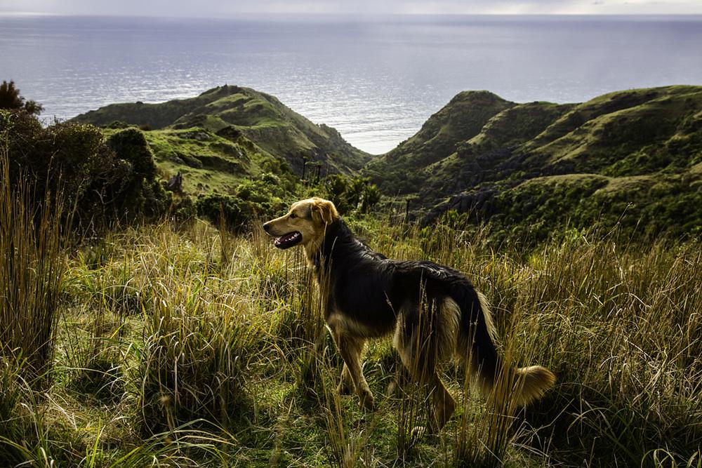Leo of Te Hapu, Huntaway, 2014