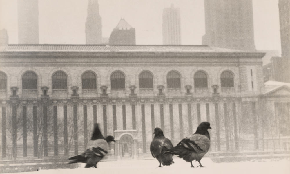 Pigeons in snow in Bryant Park