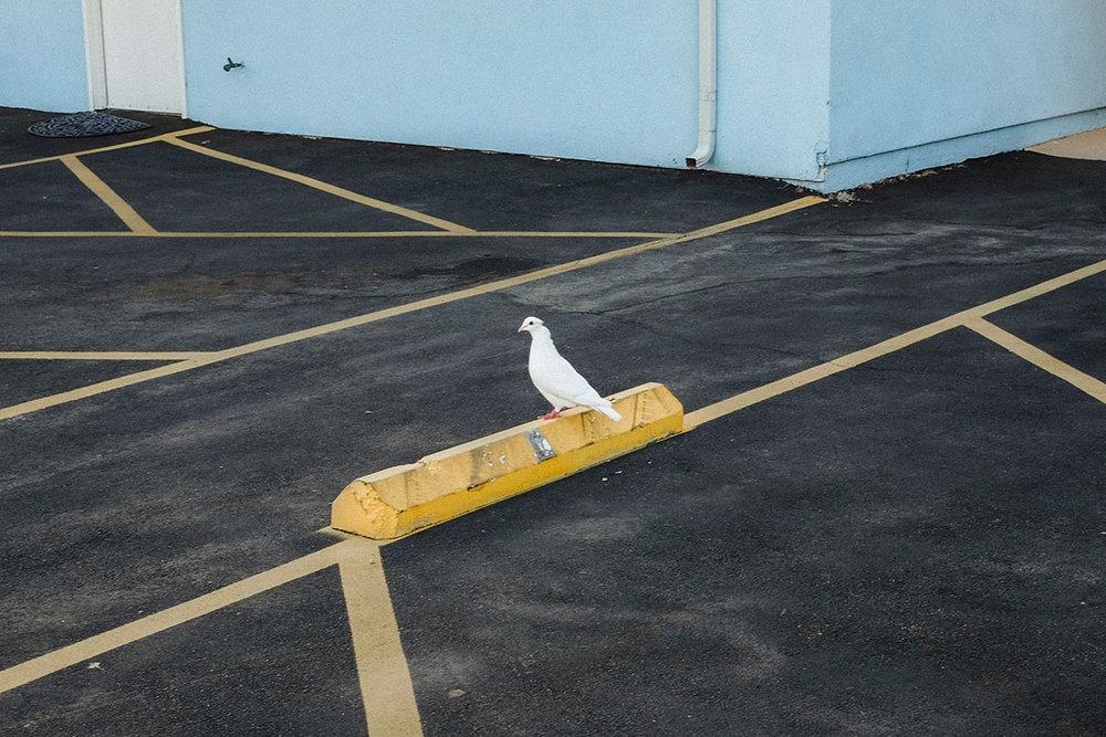 """White Pigeon"" © Jamey Hoag"
