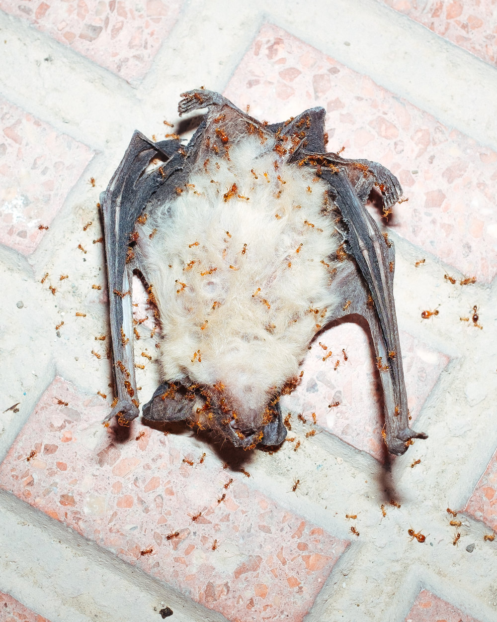 Dead Bat. © Jose David Valiente