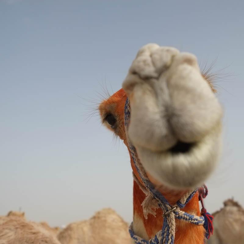 pa 20140315 al wathba camels X-E1 -0002.jpg