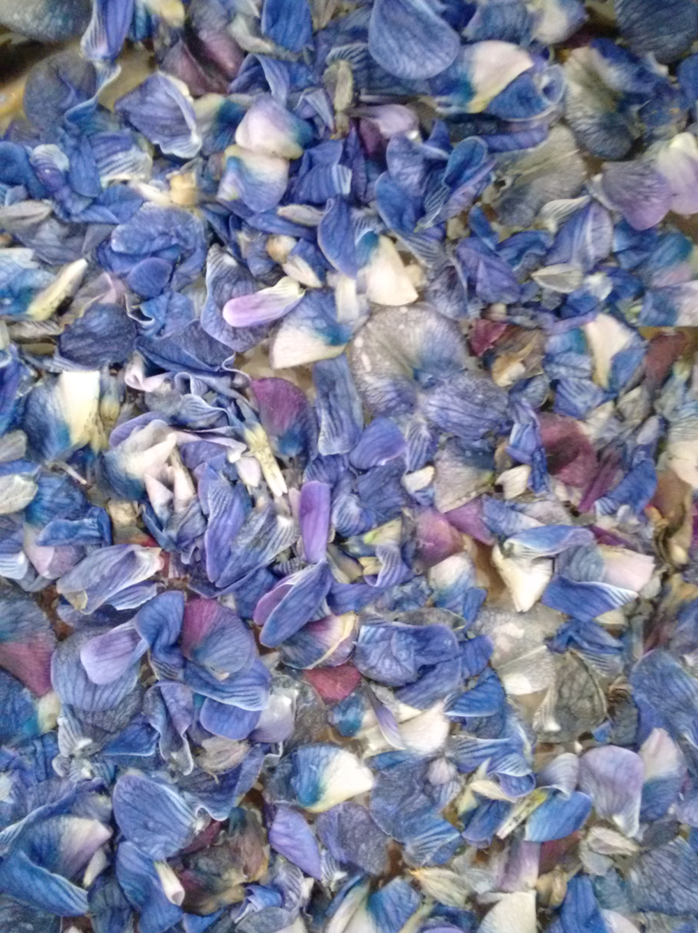 Lupine petals ready to become a yellow dye