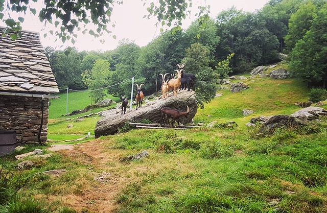 Mountain life at Traversella. Neighbor's goats hanging out.  #Traversella #nature #goats #naturelove #natgeo #green #hills #mountains #stonehouse #bayta #openspace #wild #wildlife #hangingout #outinthesun  #attheneighbor
