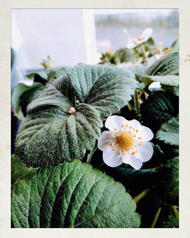 This morning in our balcony garden 💖 Strawberries, blossom and Kalas.  #garden #balcony #balconygarden #blossom #strawberry #strawberries #green #flower #inthesun #Israelisun #ig_israel #inmybalcony #teaching #gardening #home #myhouse #love #momanddaughter #Momandme #lifestyle #yummy #kala #spring #springishere #Israel #מזכרתבתיה