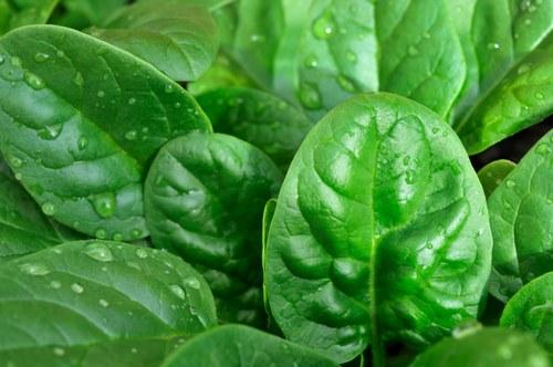 Foto:http://www.potionm.com/content/14-Epinards-biologique