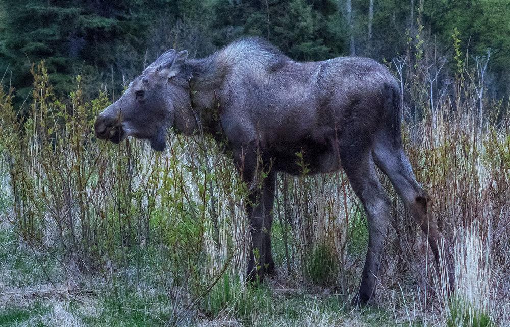 __P5211853-moose.jpg
