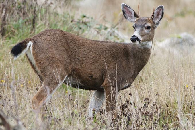 deer-e1310586560954.jpg