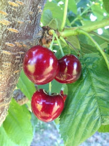 SKEENA   This is our earliest cherry, it is very sweet, large, firm and great tasting.
