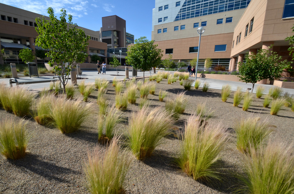 A simple and clean landscape of ornamental grasses and shade trees is drought tolerant and easy to maintain